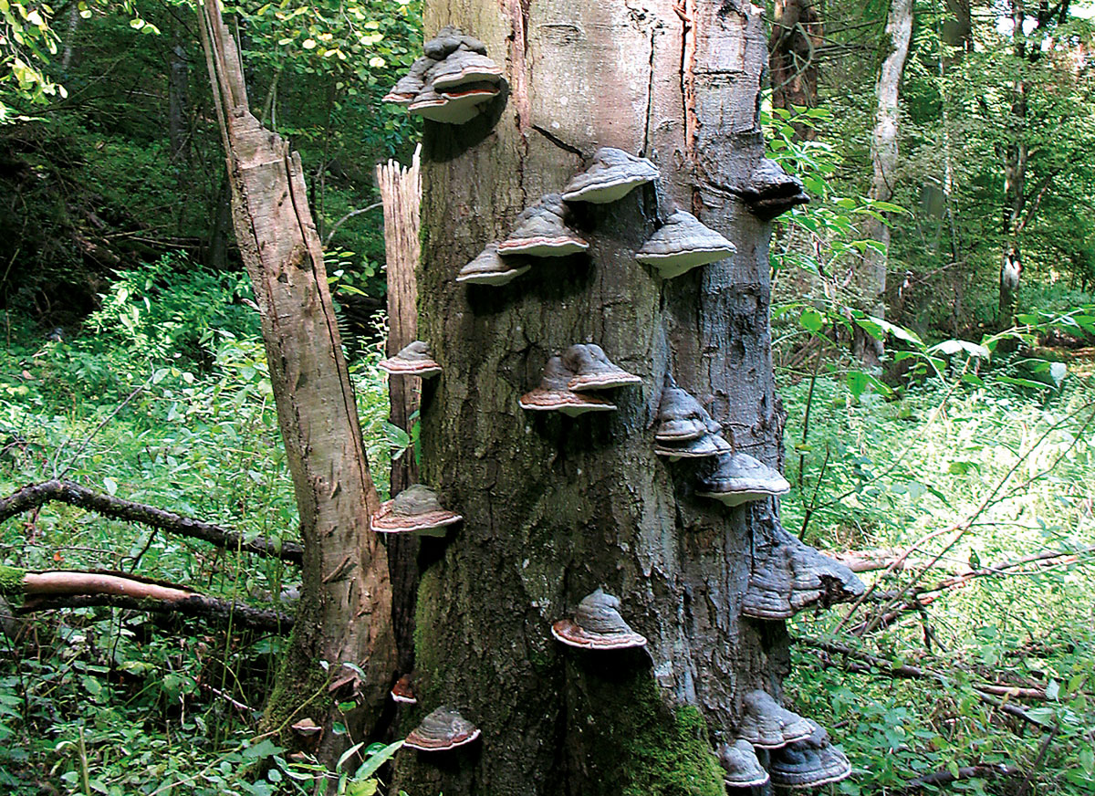The tinder fungus is characteristic for the fungal infestation of a dying tree. It used to be indispensible for lighting fires.