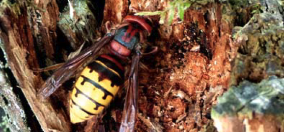 Hornets and wasps like to live in woodpeckers' holes.