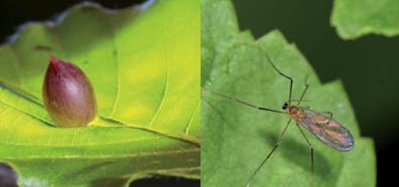 Left: the galls of the beech gall midge, right: a full grown gall midge.