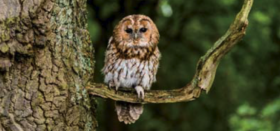 The owl often makes its home in beech woodland. It too is far up in the food chain.