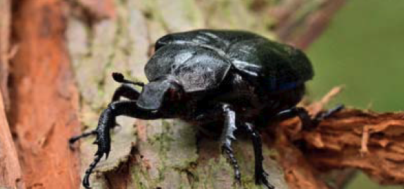 The rare hermit beetle. Its larva feeds on the hyphae of fungus.