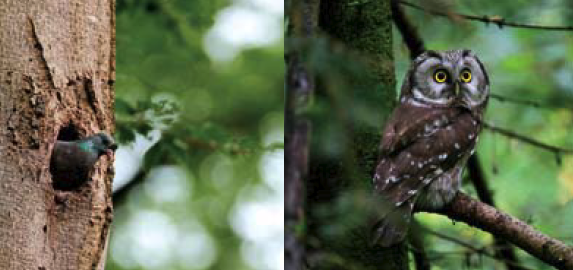 Stock doves (left) and Tengmalm's owl (right) also make their homes in beech woods.