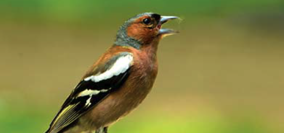 "The chaffinch is called ""beech finch"" in German. But it also lives in other environments, such as gardens."