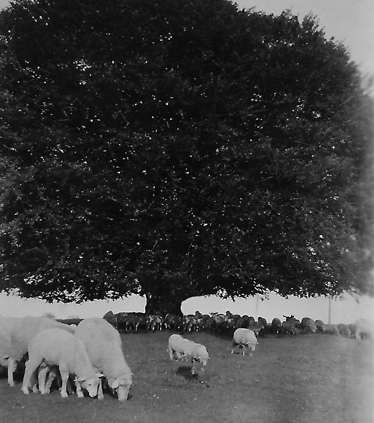 A flock of sheep in the shade of the Bavaria Beech